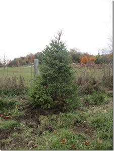 2016-hv-parking-lot-spruce-tree-csheppard